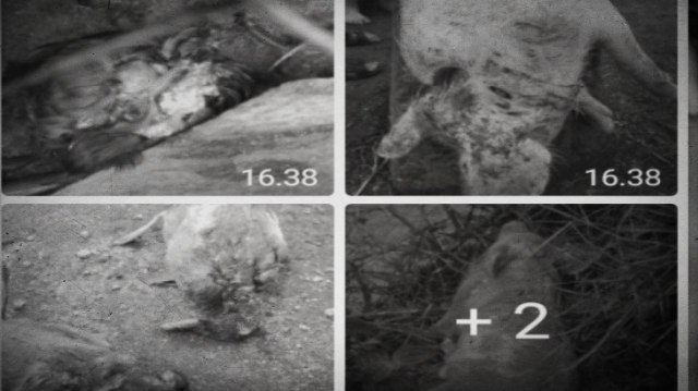 Bupati Tapanuli Utara: Serangan Palasik Ternak Sudah Terjadi Sejak 2017 (148403)