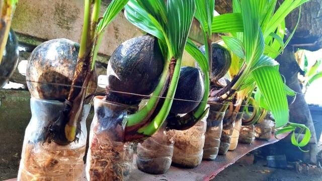 Melirik Komunitas Seniman Bonsai Kelapa Pertama Di Gorontalo