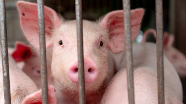 Apakah Virus Flu Babi Jenis Baru Bakal Jadi Pandemi Setelah Corona? (694424)