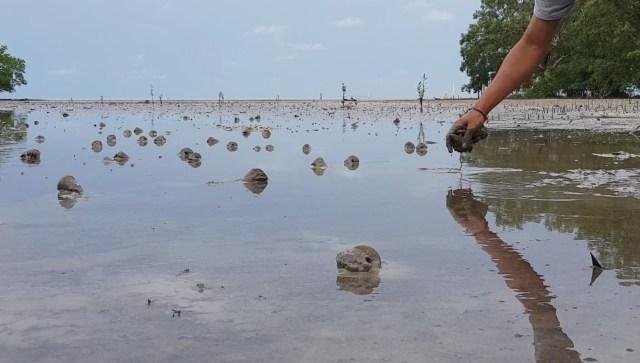 Serunya Memungut Siput Laut Berung di Pulau Lingga (90573)