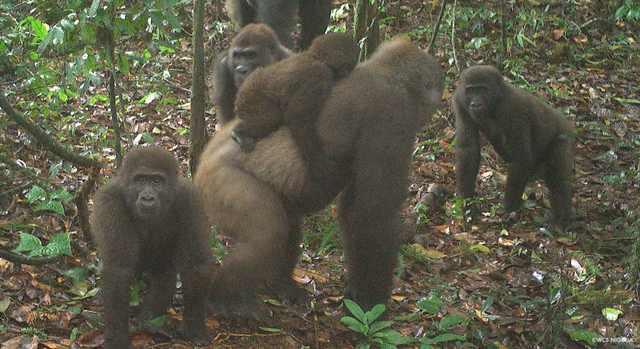 Pertama Kalinya, Simpanse dan Gorila Terlibat Perang di Alam Liar (1175033)