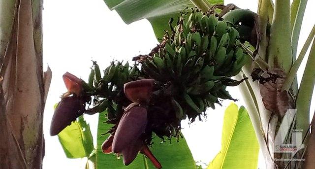 Bikin Heboh, Ada Pohon Pisang Berjantung 3 di Sukabumi (83031)