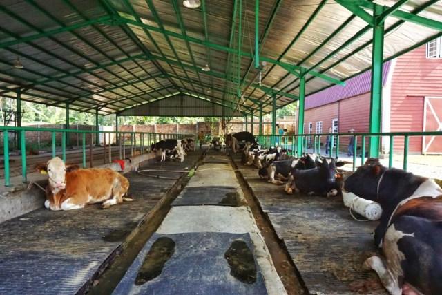 Melihat Tempat Produksi Susu Sapi Perah di Gisting Dairy Farm, Lampung (369948)