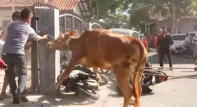 VIDEO: Sapi Kurban Ngamuk di Rumah Ketua Gerindra Kuningan, Jabar, 4 Motor Rusak (590665)