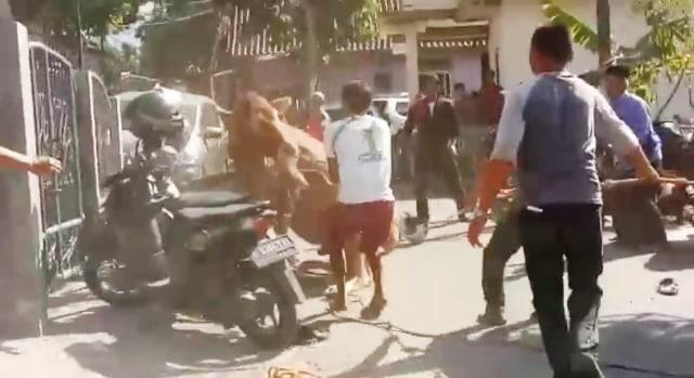VIDEO: Sapi Kurban Ngamuk di Rumah Ketua Gerindra Kuningan, Jabar, 4 Motor Rusak (590666)