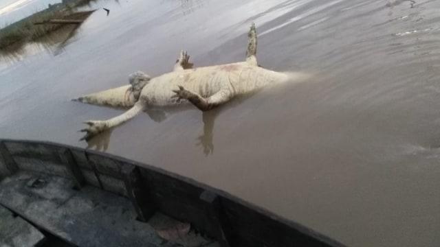 Buaya 4 Meter Mati Mengambang, Warga Riau Takut Buaya Lainnya Balas Dendam   (19495)