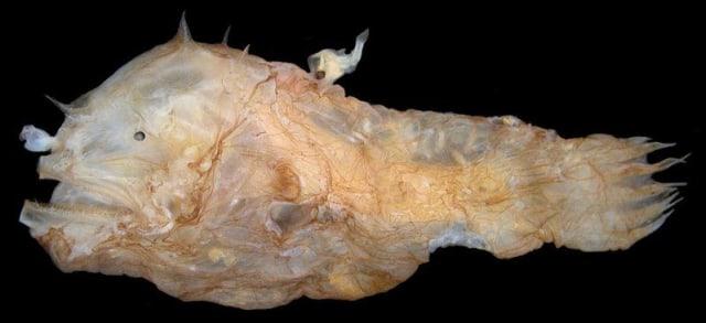 Takdir Ikan Anglerfish Jantan: Jadi 'Penis' dan Parasit Tubuh Betina Selamanya (1)