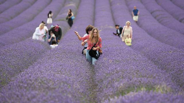Foto: Hamparan Bunga Lavender Jadi Spot Selfie di Inggris (1083412)