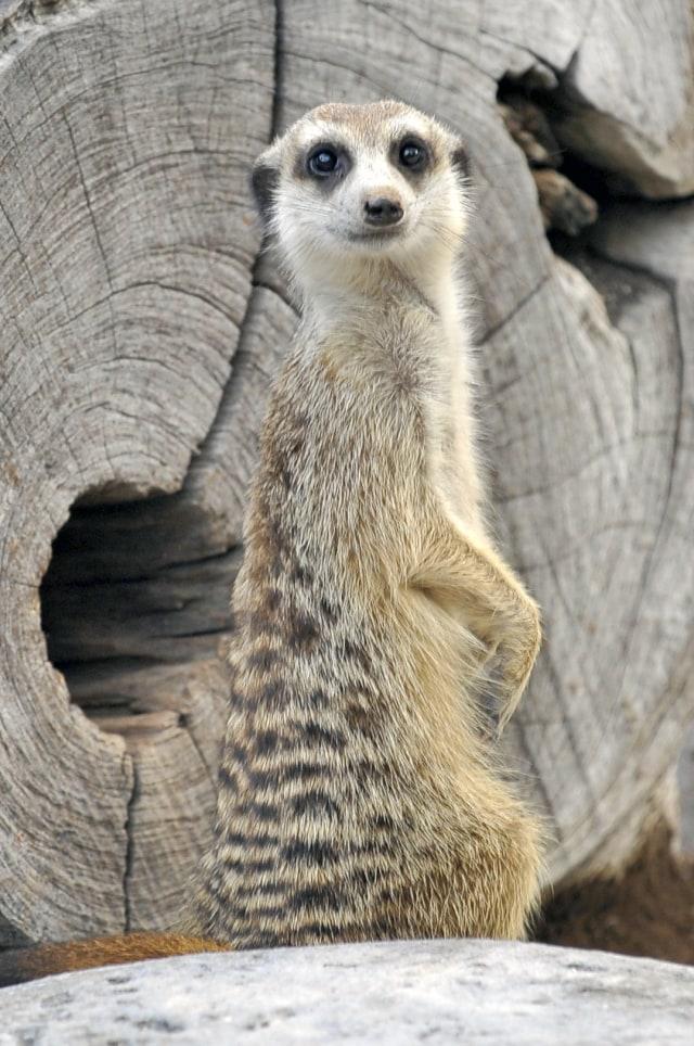 Berkenalan dengan Meerkat, Hewan Menggemaskan Penghuni Baru Jakarta Aquarium (8121)