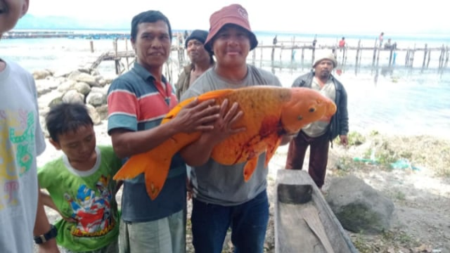 Ikan Mas Seberat 15 Kg di Danau Toba Tertangkap, Warga Resah Akan Ada Musibah (1)