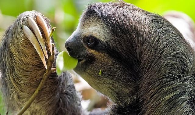 Mengenal Kungkang Berbulu Coklat, Hewan Menggemaskan yang Mendiami Hutan Amazon (41111)