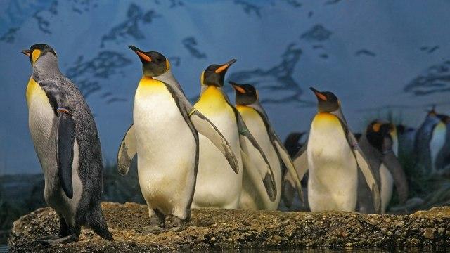 Tinggal di Tempat Dingin, Begini Cara Penguin Agar Tetap Hangat (56059)