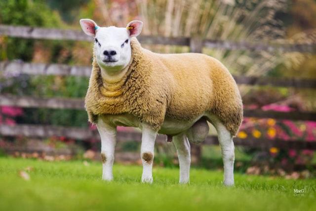 Ini Domba Termahal di Dunia Seharga Rp 7,1 Miliar (734116)