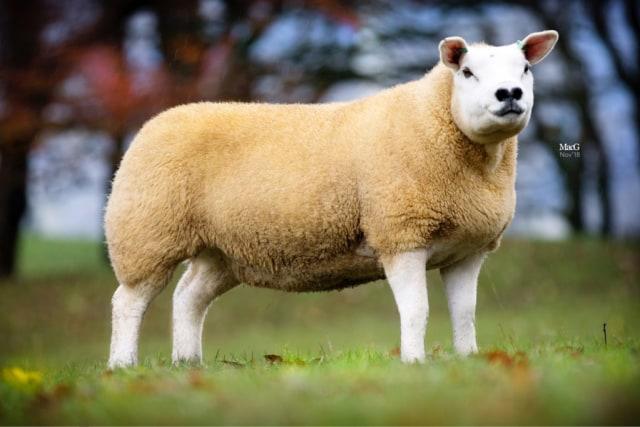Ini Domba Termahal di Dunia Seharga Rp 7,1 Miliar (734117)
