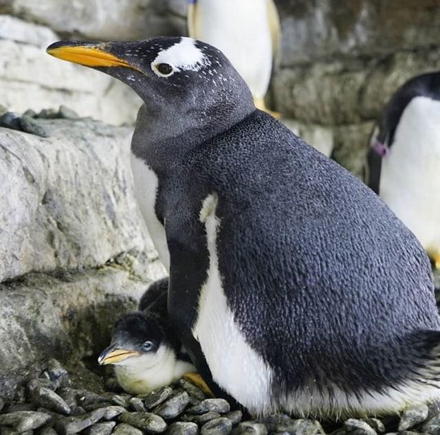 Aneh Tapi Nyata: Sepasang Penguin Gay Curi Telur dari Pasangan Sesama Jenis Lain (64716)
