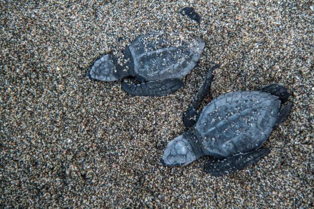 Dulu Dikonsumsi, Kini Telur Penyu Laut Wajib Dikonservasi (259578)