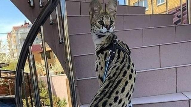 Viral di Twitter, Dapatkah Kucing Serval Memanjangkan Tubuhnya? (18338)