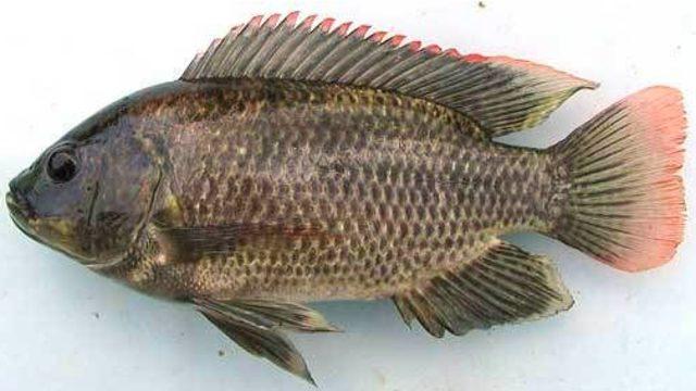 Ikan Nila Penjajah Ikan Asli Merauke, Papua (72864)