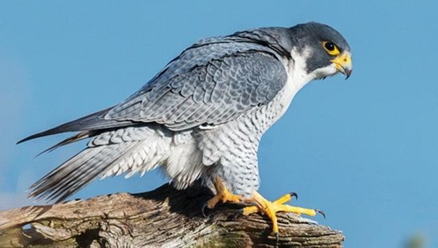 Mengenal Peregrine Falcon, Burung Elang yang Terbang Ngebut Sekencang MotoGP (199574)