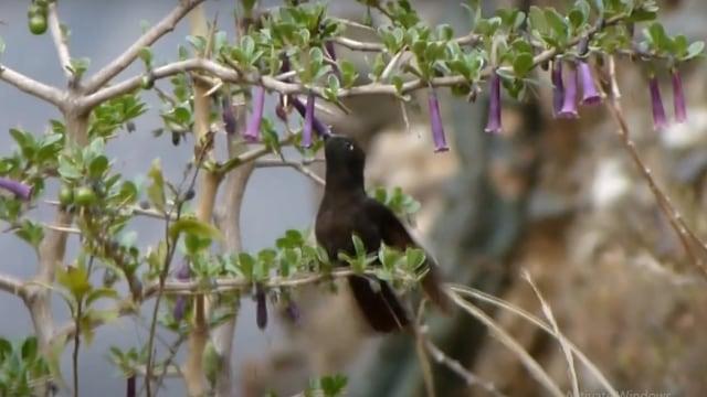 Burung Kolibri Akan 'Mati Suri' Ketika Malam Dingin (36675)