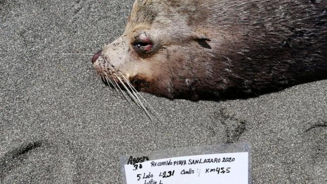Foto: 137 Singa Laut di Pantai Kawasan Meksiko yang Mati Misterius  (6132)