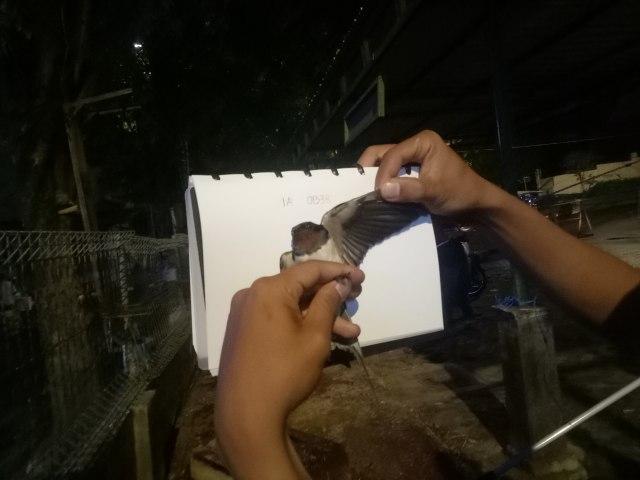 Burung Migran yang Singgah di Kota Jogja Suka Menginap di Hotel Mewah (66125)