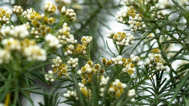 7 Fakta Menarik Edelweis, Bunga Abadi yang Tak Boleh Dipetik Sembarangan (66469)