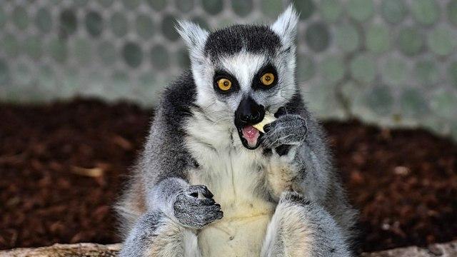 Perlindungan Primata Harus Dilakukan Secara Efektif untuk Mencegah Kepunahan (31119)