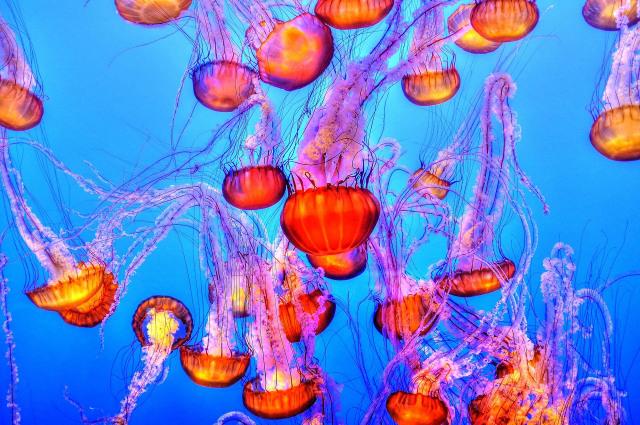 Ubur-ubur, Penguasa Laut yang Tak Punya Otak (27962)