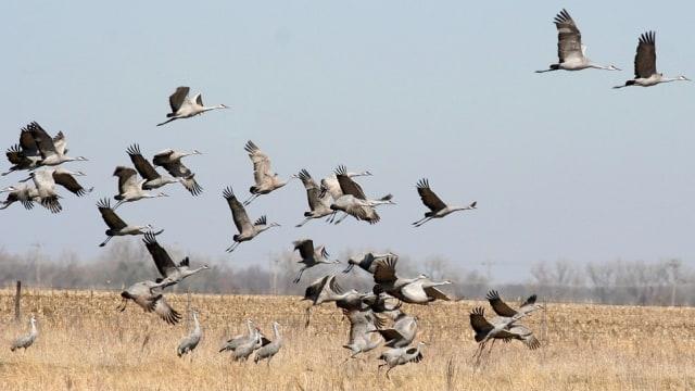 Mengenal Crane, Burung Jenjang yang Dapat Bermigrasi Jauh (16636)