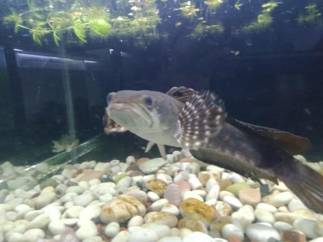 Pandemi, Penghobi Ikan Gabus Makin Marak (98430)