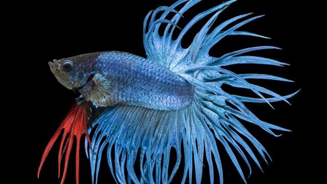 Jenis Jenis Ikan Cupang Dengan Warna Cantik Yang Cocok Dipelihara Kumparan Com