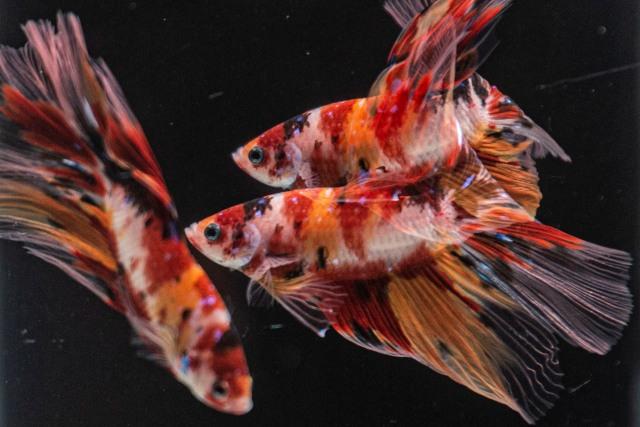 Rekor Harga Ikan Cupang yang Pernah Dijual, Capai Rp 22 Juta (549757)
