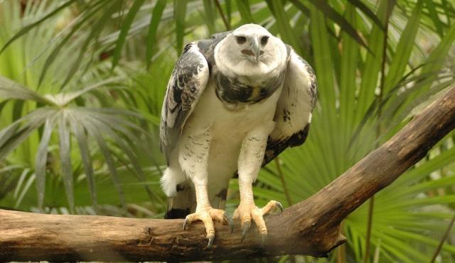 Mengenal Harpy Eagle Burung Elang Raksasa Sebesar Manusia Remaja Kumparan Com