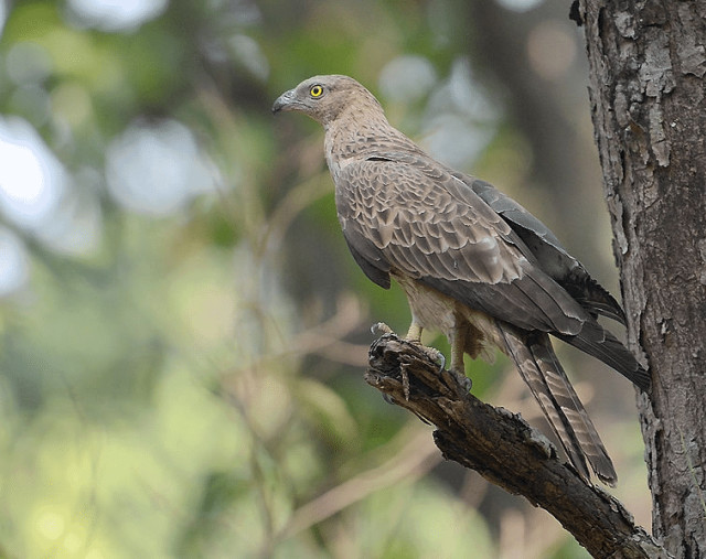 Menyambut Kedatangan Raptor Migran di Hari Migrasi Burung Sedunia 10 Oktober (294640)