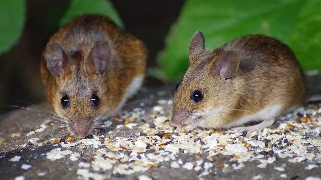 Dinas Pertanian Bojonegoro akan Sosialisasikan Bahaya Penggunaan Jebakan Tikus (39674)