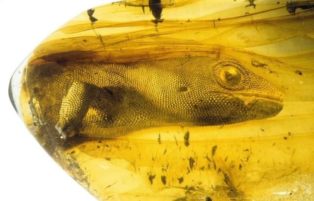 Viral Fosil Tokek Purba Masih Utuh Selama 54 Juta Tahun, Ini Faktanya (21214)