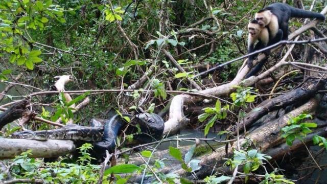 Aksi Dramatis Kawanan Monyet Selamatkan Anggotanya dari Serangan Ular Boa (70103)