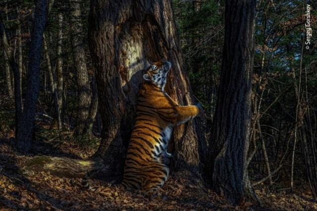 Potret Haru Harimau Siberia: Peluk Pohon di Ambang Kepunahan (25775)