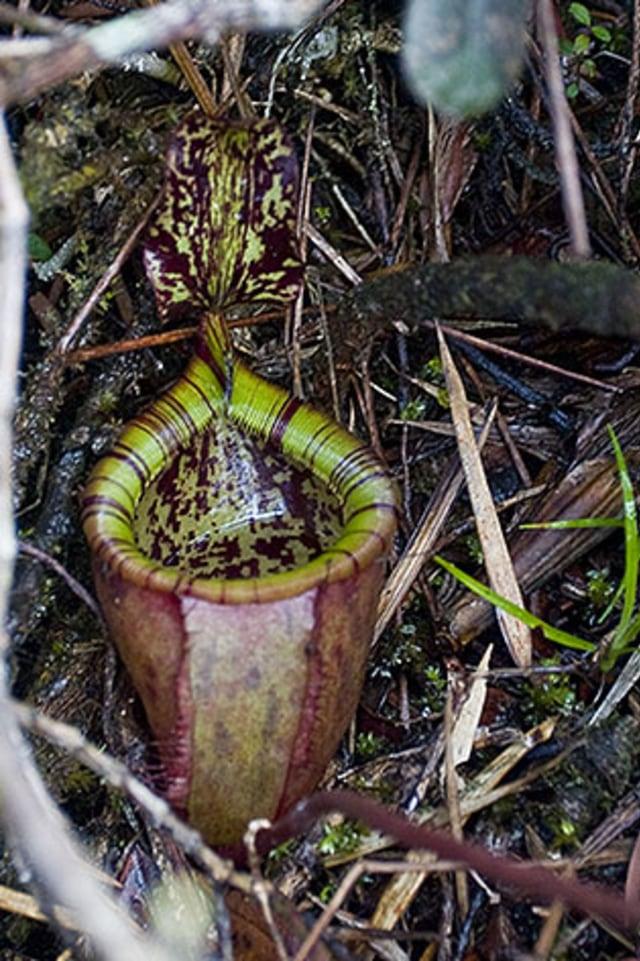 Berkenalan dengan Tumbuhan Karnivora yang Mampu Melahap Salamander dan Tikus (7388)