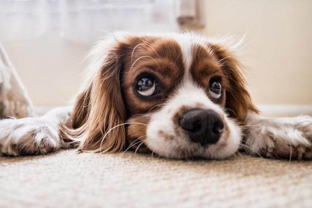 Puppy eyes: evolusi otot muka pada anjing domestik (98616)