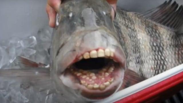 Cari Tahu Tentang Ikan Bulu Domba: Memiliki Gigi Seperti Manusia (521640)