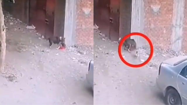 Viral Video Pertarungan Kucing Lawan Anjing yang Serang Bocah (521189)