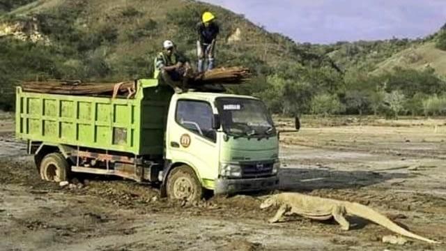 Penjelasan KLHK soal Foto Viral Komodo Adang Truk di Pulau Rinca (14760)
