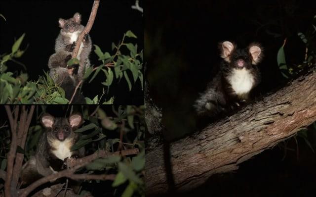 Spesies Baru Hewan Marsupial Glider Ditemukan, Ini Wujud Imutnya (62726)