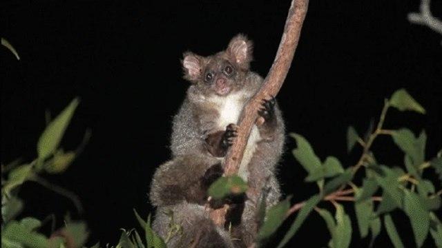 Spesies Baru Hewan Marsupial Glider Ditemukan, Ini Wujud Imutnya (62724)