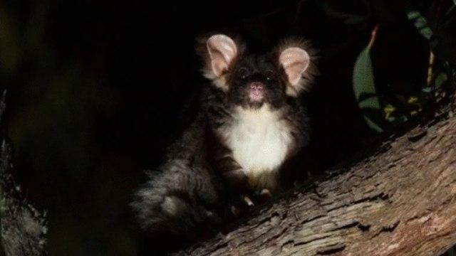 Spesies Baru Hewan Marsupial Glider Ditemukan, Ini Wujud Imutnya (62725)