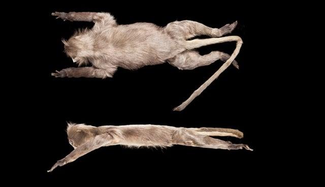 Spesies Baru Monyet Ditemukan, Langsung Dapat Status Hewan Langka (15536)
