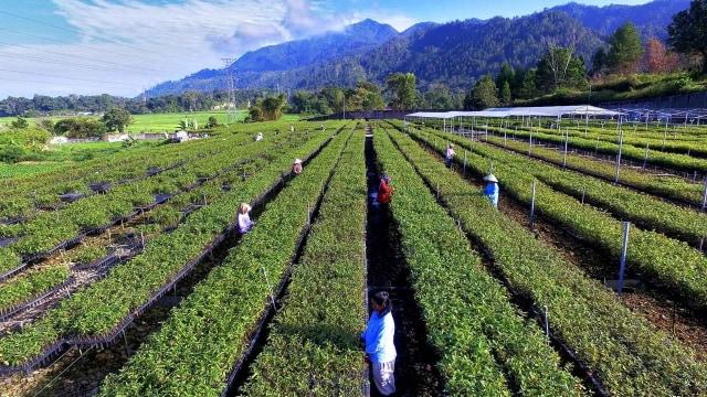 Jaga Produksi, Toba Pulp Bisa Hasilkan 2,6 Juta Bibit Eucalyptus per Bulan (10715)