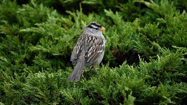 Pandemi Membuat Burung Mendengar Nyanyian Satu Sama Lain (60493)